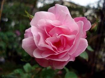 rose_YueYueFen.JPG