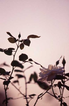 rose_twilight.jpg
