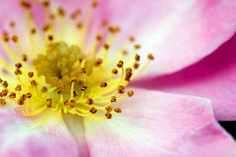 rose_mesibe.jpg